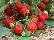 ZKY-草莓压榨机