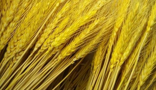 膳食纤维研究深入 小麦深加工产业发展受益